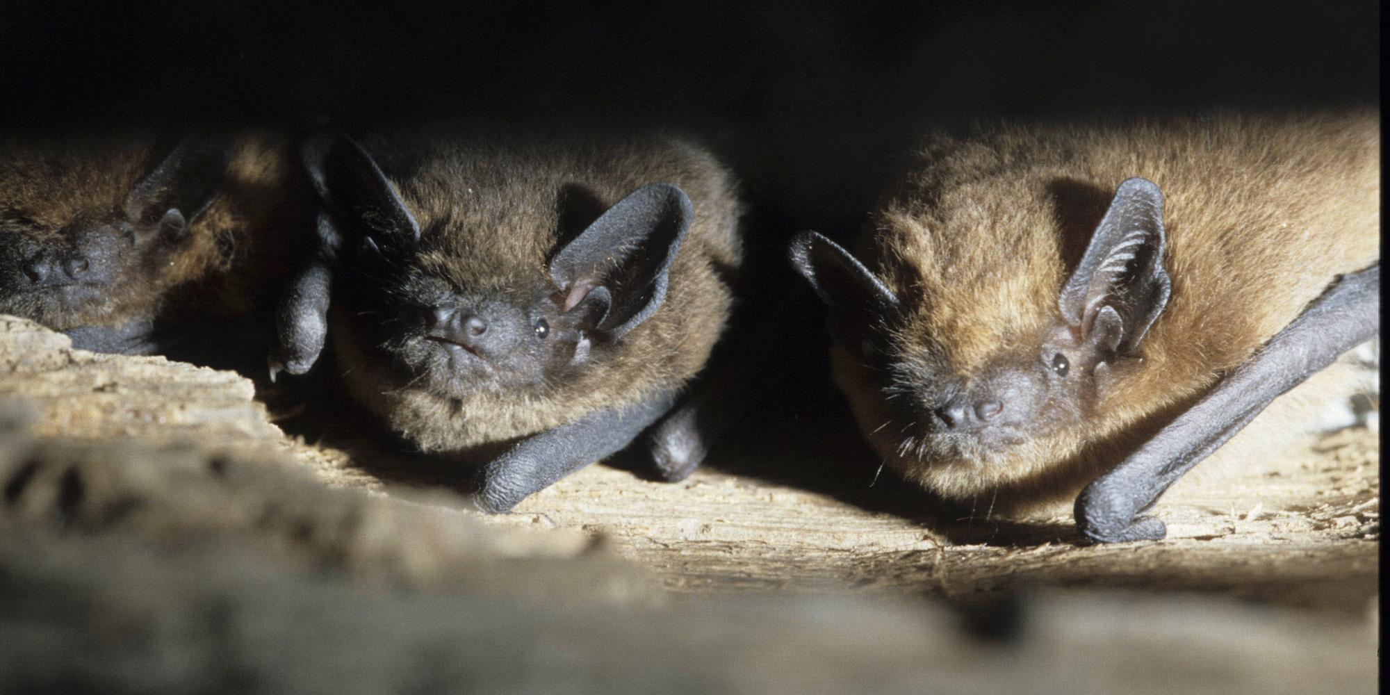 Chauves-souris, pangolins : ces animaux que l'on soupçonne un peu vite