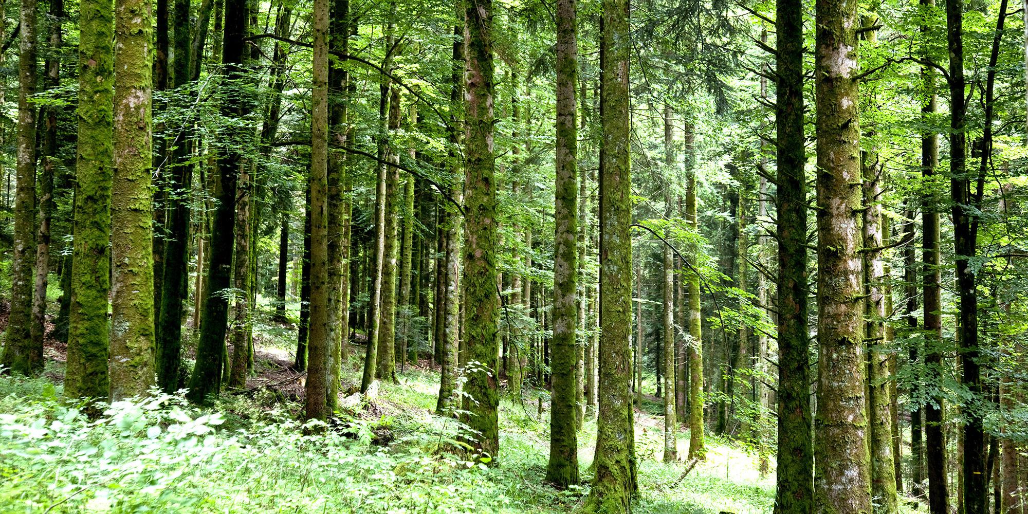 INFO JDD. La Société botanique de France alerte sur le repeuplement des forêts par des arbres exotiques