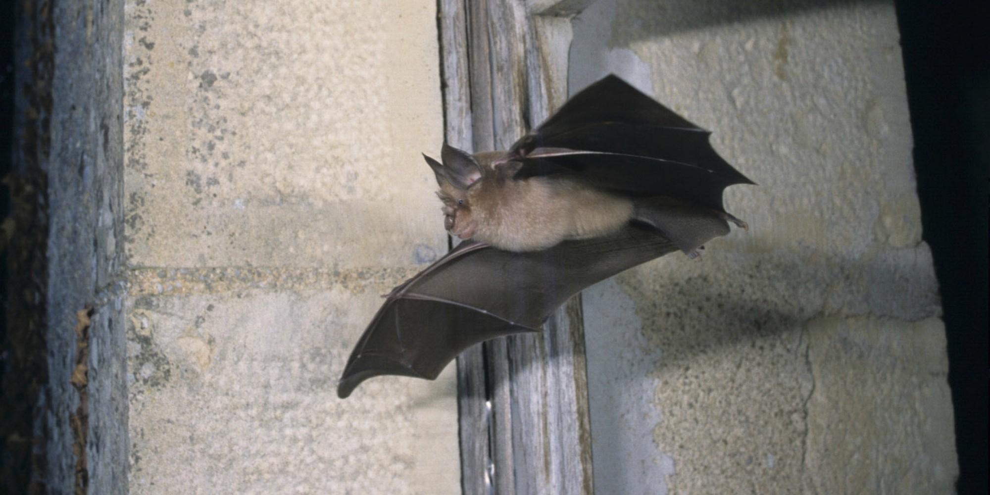 Une chauve-souris suspectée d'héberger le Covid-19 : voici pourquoi il faut surveiller ces animaux nocturnes
